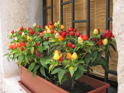 Выращивание комнатного перца из семян