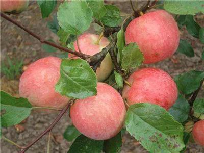 Описание яблони зимнего сорта созревания Пепин шафранный