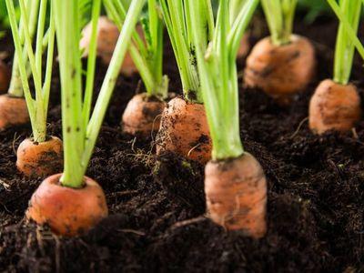 Когда садить морковь в Сибири лучшие сорта