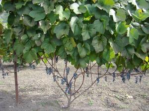 Как растет амурский виноград