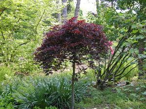 Дерево Пурпурный бук