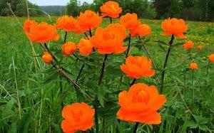 Растение Оранжевые купальницы