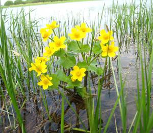 Растение Желтые калужницы