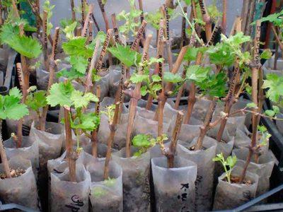 Специфика посадки винограда черенками в домашних условиях