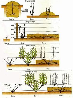 Схемы посадки винограда