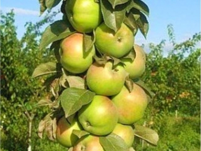 Посадка и выращивание яблони Малюха колоновидной - Медоносы