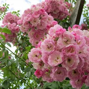 Роза ругоза цветение