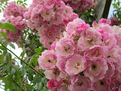 Роза ругоза морщинистая красивый декоративный кустарник