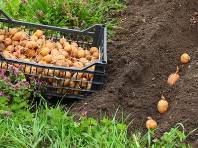 Как легко и быстро посадить картофель