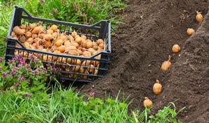 Картофель и правила его посадки