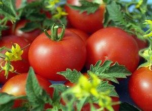 Описание сорта томатов Джина