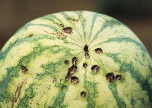 Чем может заболеть арбуз