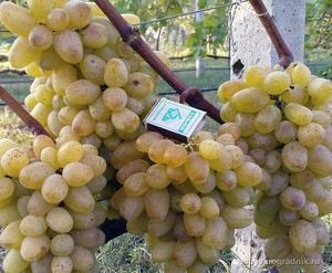 Разновидности сортов винограда
