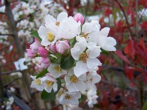 Краснолистная декоративная яблоня: описание сортов, их место в ландшафтном дизайне сада