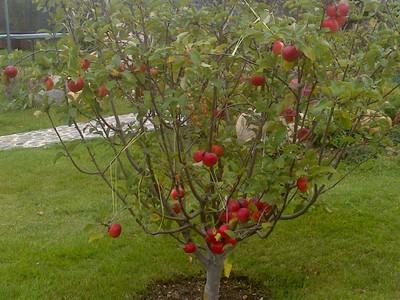 Что можно посадить под яблоней из овощей