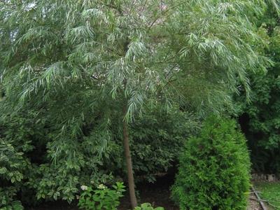 Божье дерево стрижка