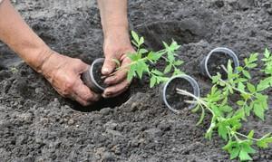 Благоприятные дни для посадки томатов