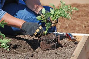 Высадка рассады томата в открытый грунт
