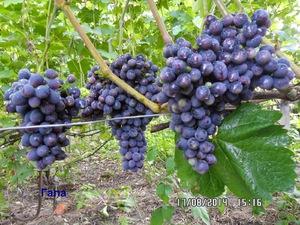 Лора - вид винограда