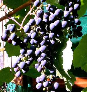 Выращивание винограда Лора