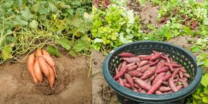 В чем польза картофеля батата