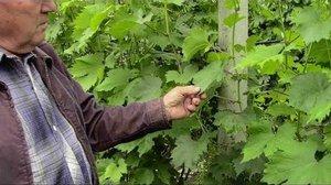 Зеленые операции занимают большую часть работ по уходу за плодоносящим виноградом