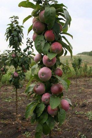 Виды карликовых яблонь