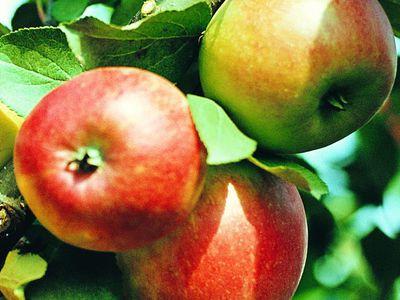 Особенности посадки карликовых яблонь