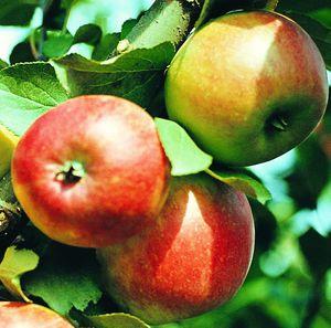 Особенности карликовых яблонь