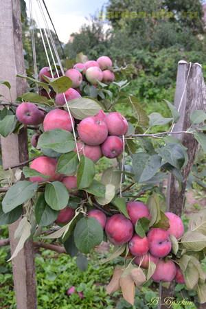 Зимние сорта яблонь и их описание