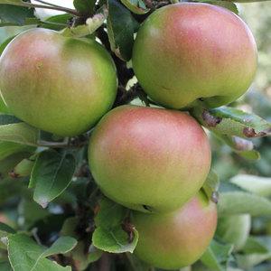Осенние карликовые яблони и их сорта