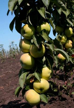 Осенние виды карликовых яблонь