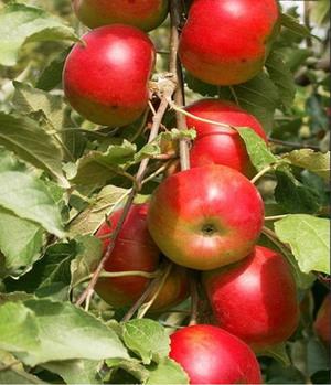 Послепосадочная обрезка яблони