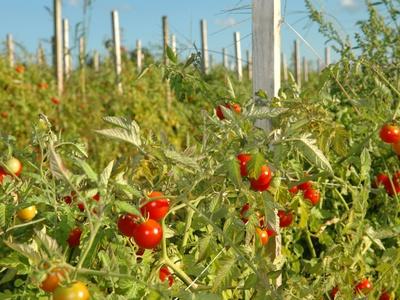 Описание и характеристики томата сорта сибирский скороспелый