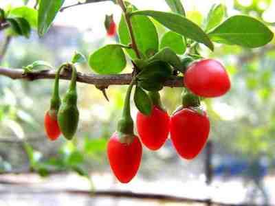 Дереза обыкновенная, или ягоды годжи