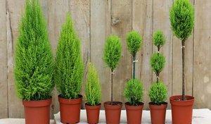 Кипарисовик-выращивание в домашних условиях