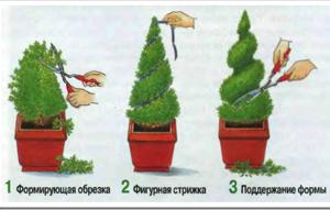 Кипарис Элвуди - обрезка