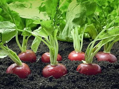 Как посадить редиску в грунт