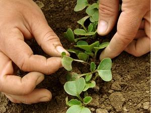 Редис лучше выращивать весной