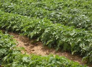Выращивание картофеля в грядах