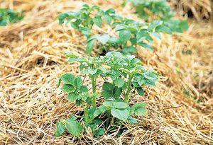 Как вырастить картофель в соломе
