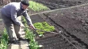 Как посадить укроп и петрушку