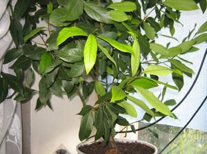 Лавровые листья известны своим специфическим запахом