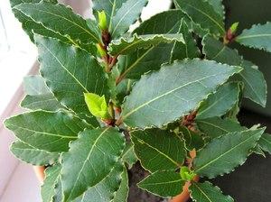 Комнатное растение лавр - заостренные листья