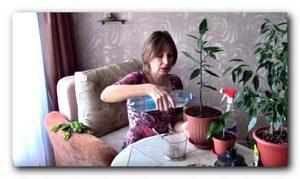 Удобрения для комнатных растений - подкормка лавра