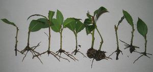 Лавровое дерево в домашних условиях- размножение отпрысками
