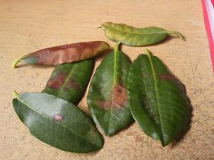 Недуги лавровых листов