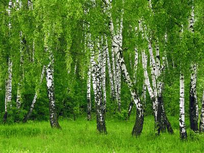 Береза обыкновенная: виды, описание дерева, полезные свойства и использование в лечебных целях