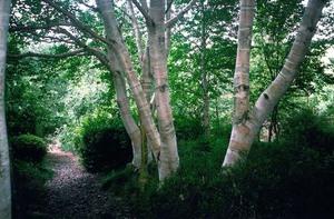 Берёза -многообразние дерева