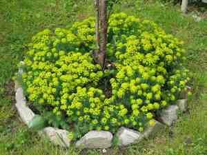 Растение салтонина, или хлопковая лаванда
